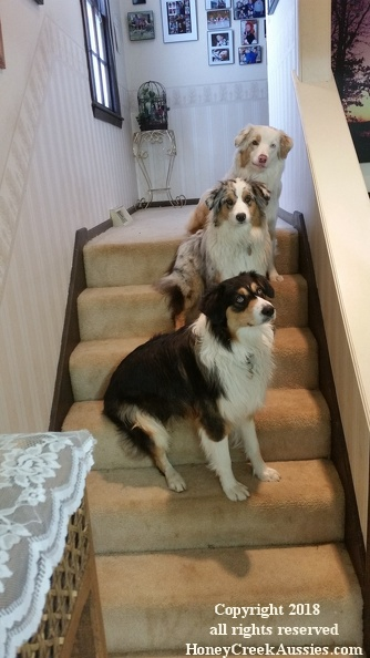 Our Australian Shepherds - Our Furry Family