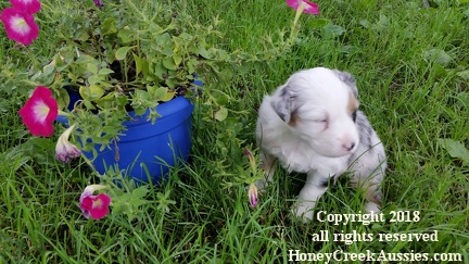 Brandy's litter, Red Merle Female