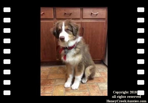 HoneyCreek Australian Shepherds
